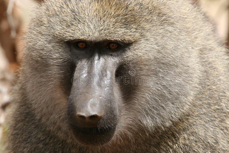 baboonolivgrön royaltyfri fotografi
