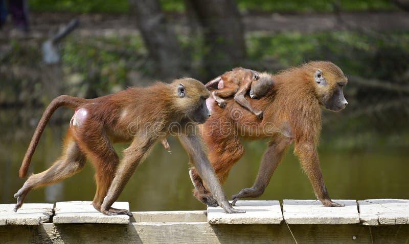 Baboons και νεολαίες στοκ εικόνες με δικαίωμα ελεύθερης χρήσης