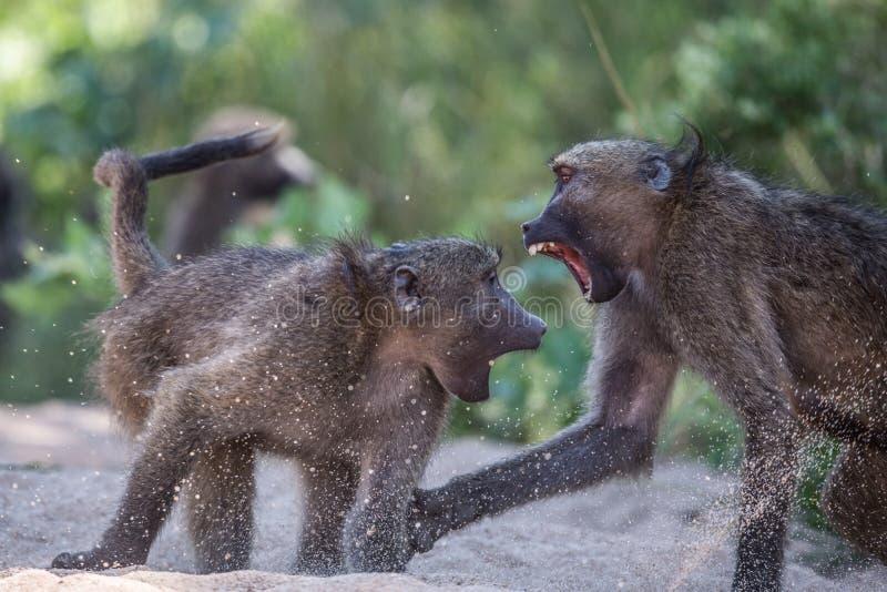 Baboons που παλεύουν στο εθνικό πάρκο Kruger στοκ εικόνες με δικαίωμα ελεύθερης χρήσης