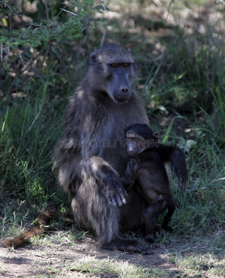 Baboons στη Νότια Αφρική στοκ εικόνα με δικαίωμα ελεύθερης χρήσης