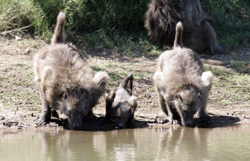 Baboons στη Νότια Αφρική στοκ εικόνες