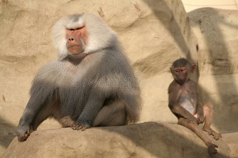 Baboons royalty free stock image