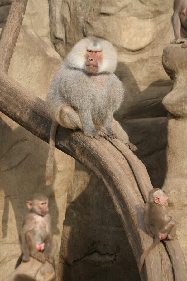 baboons royaltyfri bild