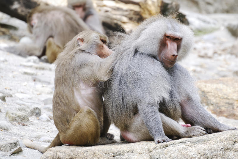 Baboons Stock Images
