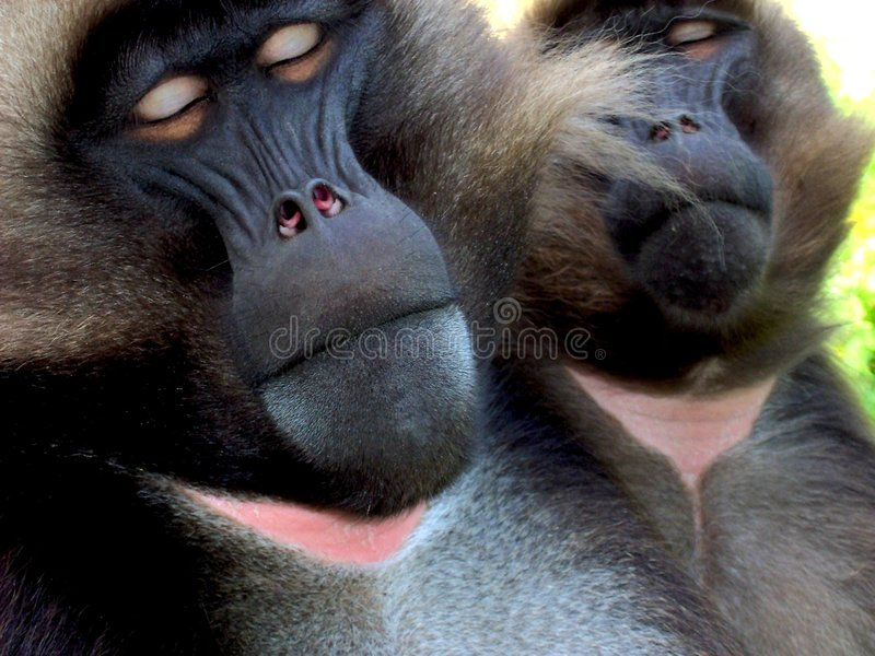 Download Baboons stock photo. Image of dozing, reposing, african - 866900
