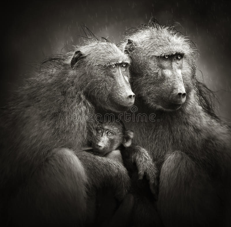 Baboons Chacma με το μωρό στη βροχή στοκ εικόνες