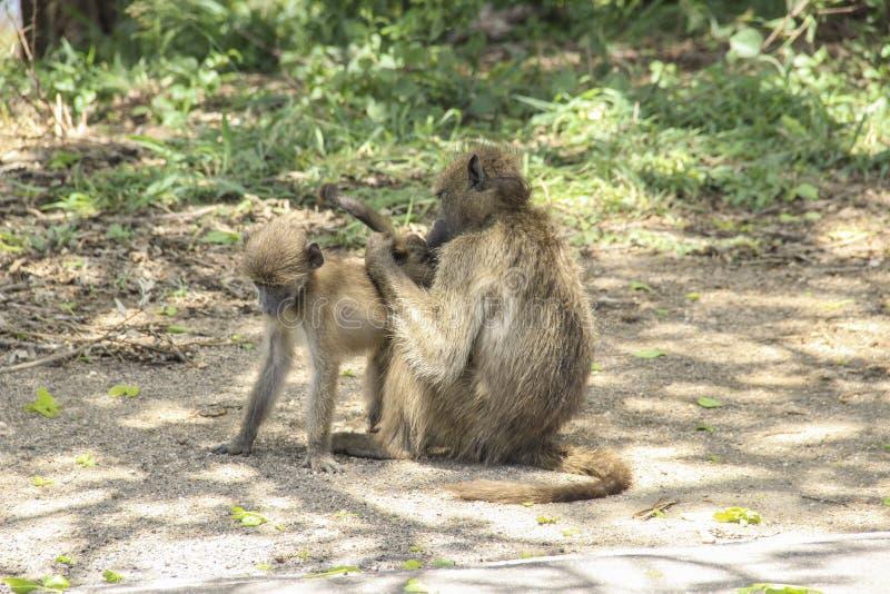 Baboons Chacma που καλλωπίζουν σε Kruger το εθνικό πάρκο, Νότια Αφρική στοκ φωτογραφίες