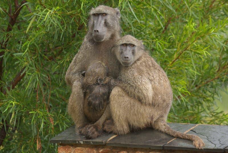 Baboons Chacma στοκ εικόνες