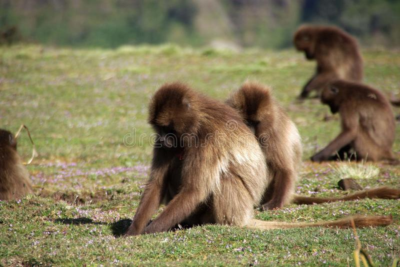 Baboons, Ethiopia. Gelada baboons in the Simien park in Ethiopia, in Africa royalty free stock photo
