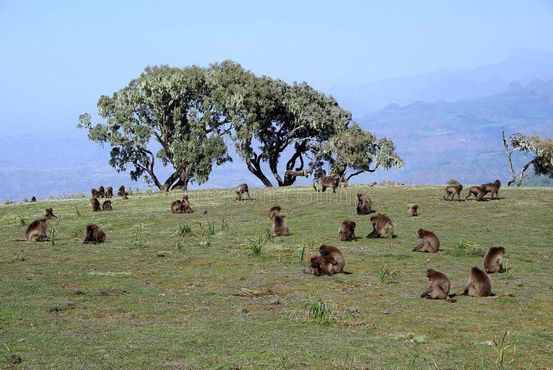 Baboons, Ethiopia stock photography