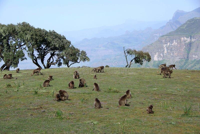 Download Baboons, Ethiopia stock photo. Image of endemic, monkey - 22948262