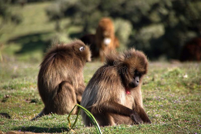 Download Baboons, Ethiopia Royalty Free Stock Photos - Image: 22948278