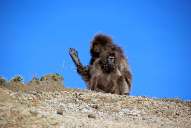 Baboons, Ethiopia. Gelada baboons in the Simien mountains in Ethiopia, Africa royalty free stock image