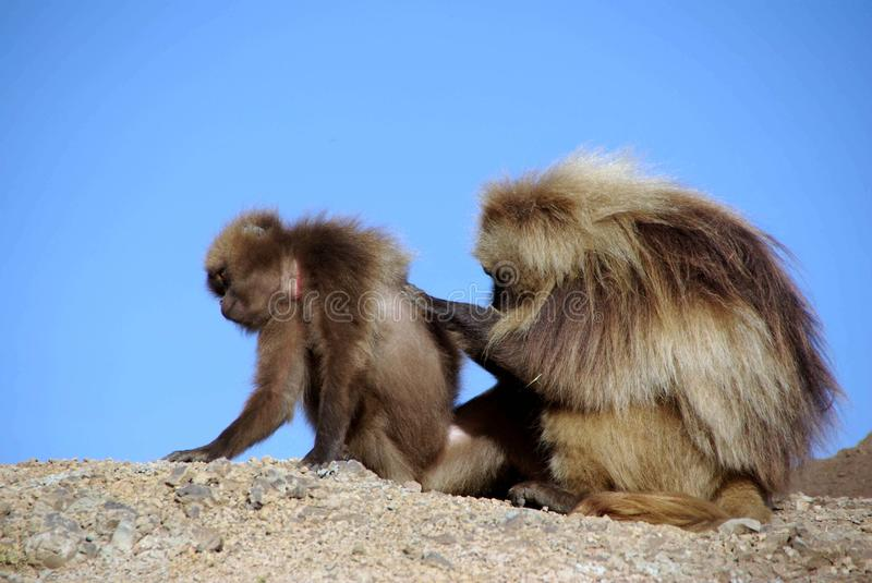Baboons, Ethiopia. Gelada baboons in the Simien mountains in Ethiopia, Africa royalty free stock photography