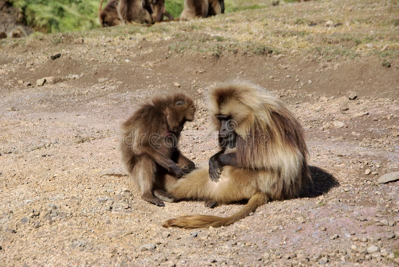 Baboons, Ethiopia. Gelada baboons in the Simien mountains in Ethiopia, Africa stock photo