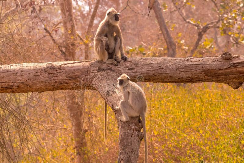 Baboons having a family discussion. In the forest sitting and relax stock image