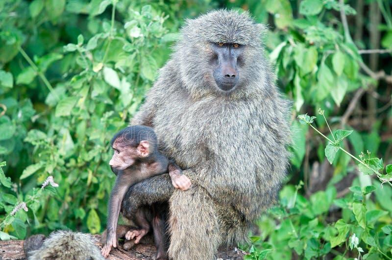 baboons papio στοκ φωτογραφίες