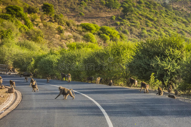 Baboons on the road in Tanzania royalty free stock images