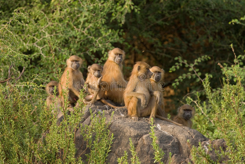 baboons senegal fotografering för bildbyråer