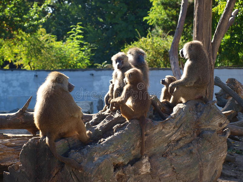 Baboons, Wroclaw, Poland royalty free stock photography