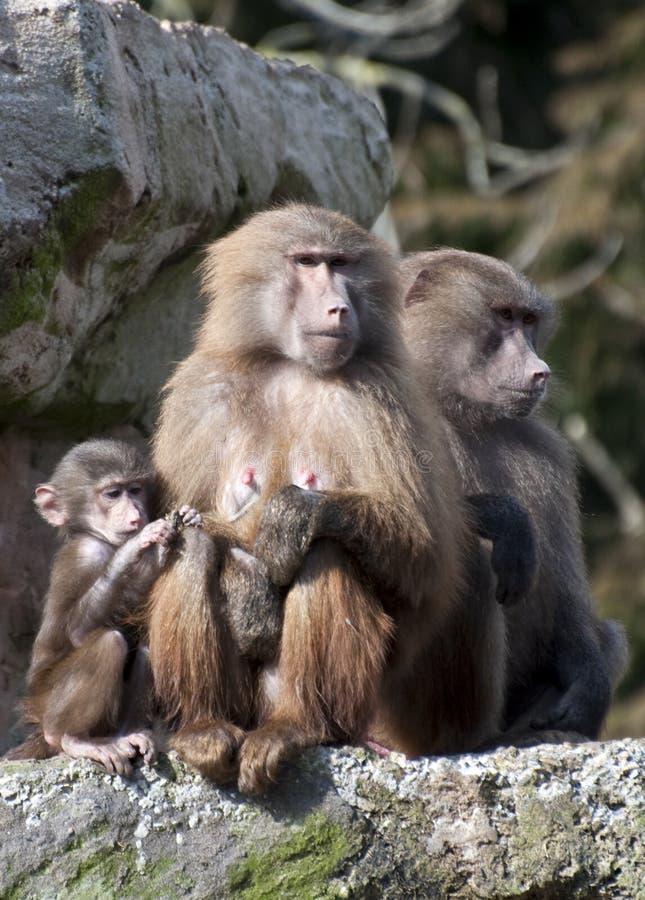 baboonsfamilj arkivfoton