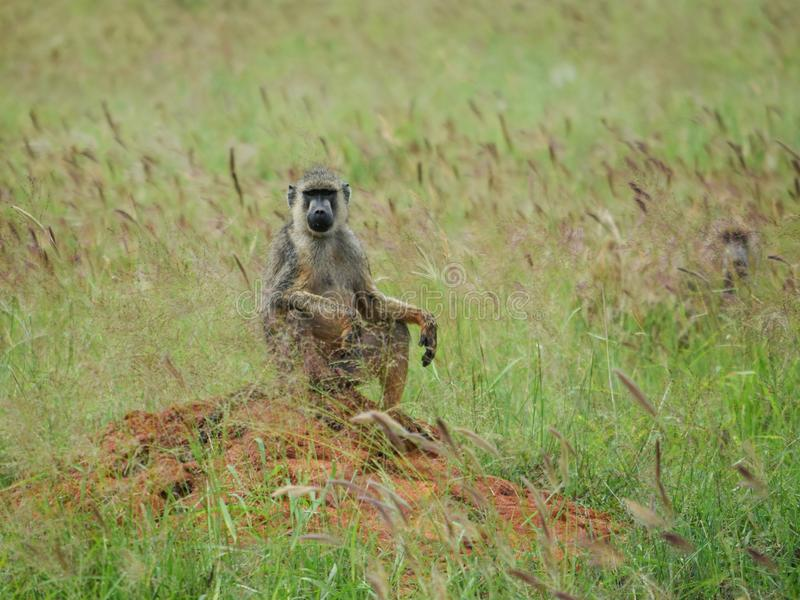Babouin dans Savannah Grassland image stock