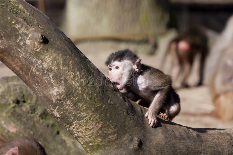 Babouin de bébé image libre de droits
