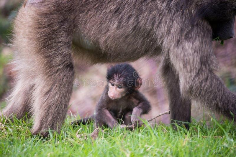 Babouin de Chacma de bébé avec la mère image libre de droits