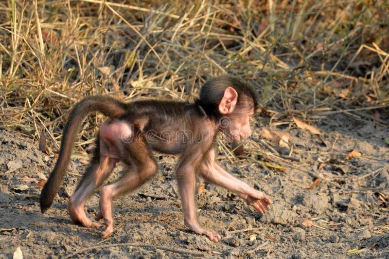 Babouin de Chacma de bébé (ursinus de Papio) image libre de droits