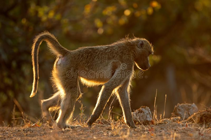 Babouin de chacma rétro-éclairé - parc national de Kruger images stock