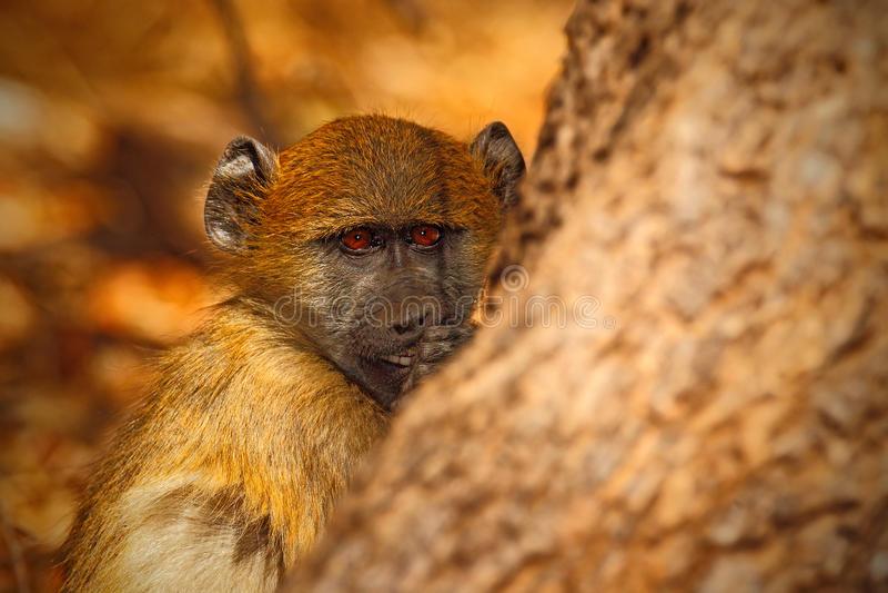 Babouin de Chacma, ursinus de hamadryas de Papio, portrait de singe dans l'habitat de nature, Victoria Falls, la rivière Zambesi, photos libres de droits