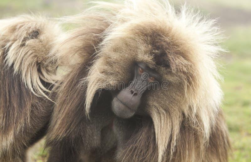 Babouin de Gelada avec de mauvais cheveux en montagnes de Simien, Ethiopie images libres de droits