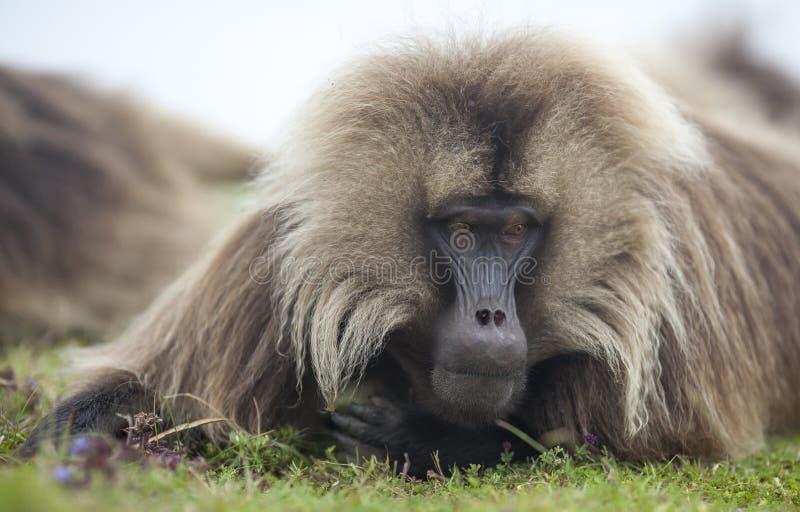 Babouin de Gelada en montagnes de Simien, Ethiopie photographie stock libre de droits