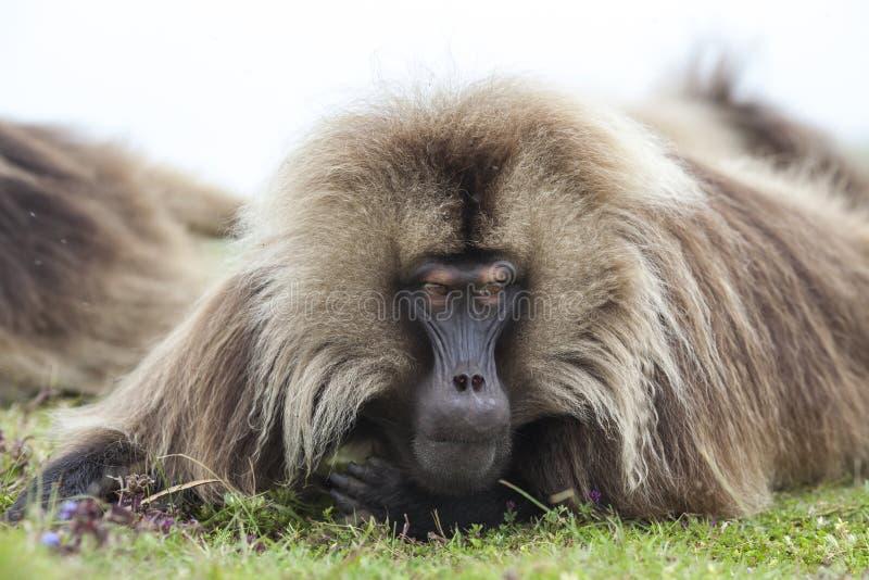 Babouin de Gelada en montagnes de Simien, Ethiopie image libre de droits