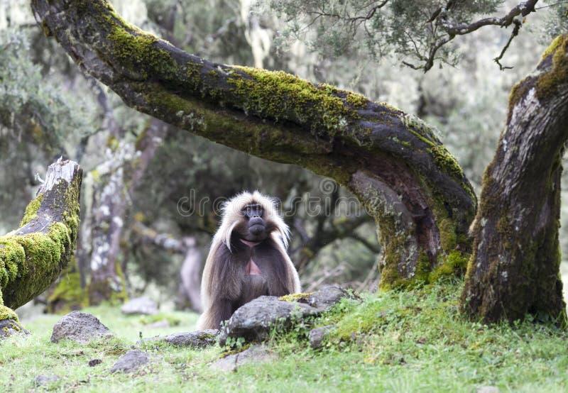 Babouin de Gelada en montagnes de Simien, Ethiopie photos libres de droits