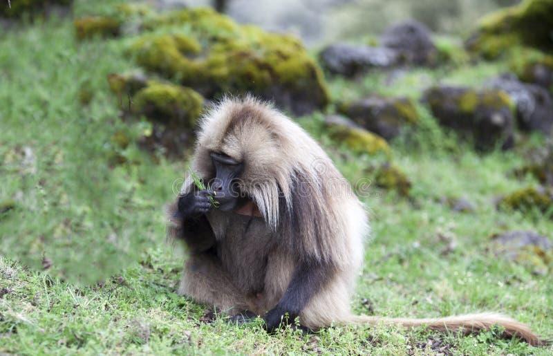 Babouin de Gelada mangeant l'herbe en montagnes de Simien, Ethiopie image libre de droits