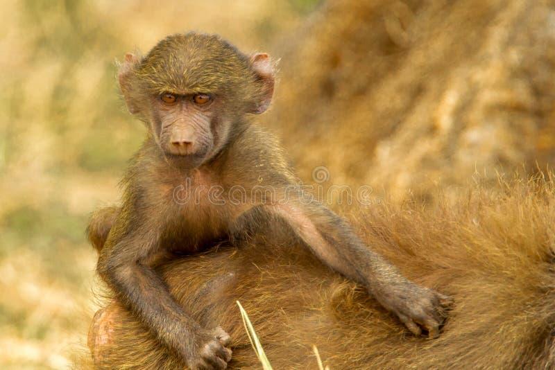 Babouin jaune de bébé photographie stock libre de droits