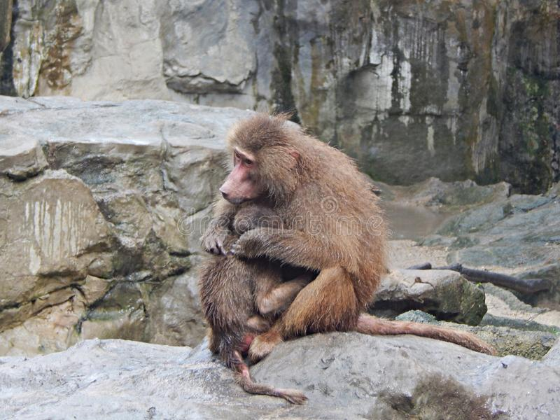 Babouin protégeant son petit animal en terre rocheuse image stock
