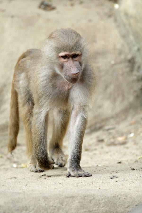 Babouin simple de Hamadryas dans le jardin zoologique photo libre de droits