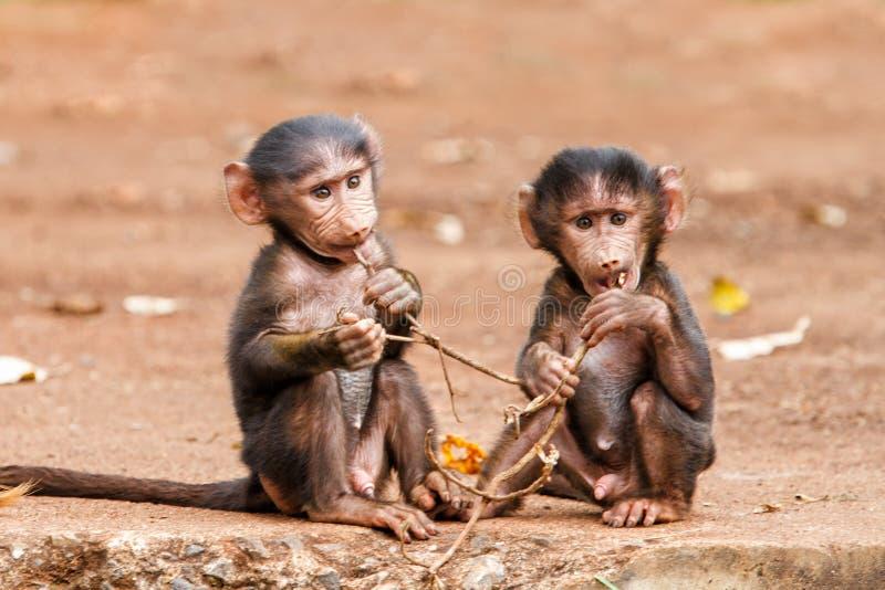 Babouins de bébé en Tanzanie photographie stock libre de droits