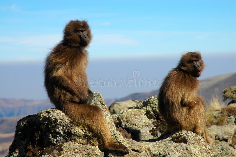 Babouins de Gelada photos libres de droits