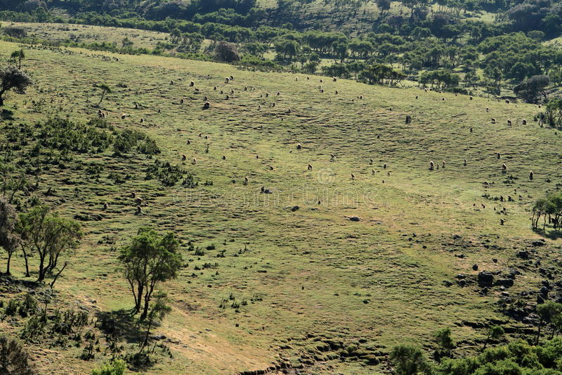 Babouins de Gelada dans les montagnes de Simien de l'Ethiopie photo libre de droits