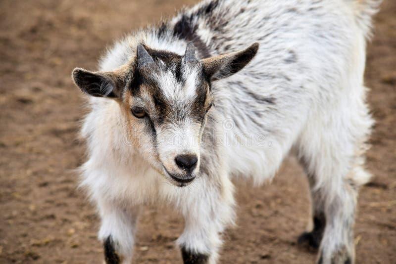 Babt山羊或山羊属aegagrus hircus 库存图片