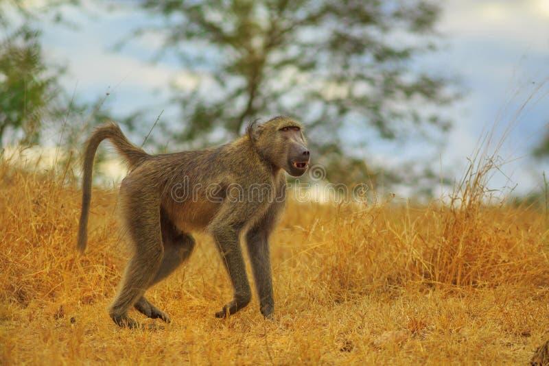 Babuíno África do Sul imagem de stock