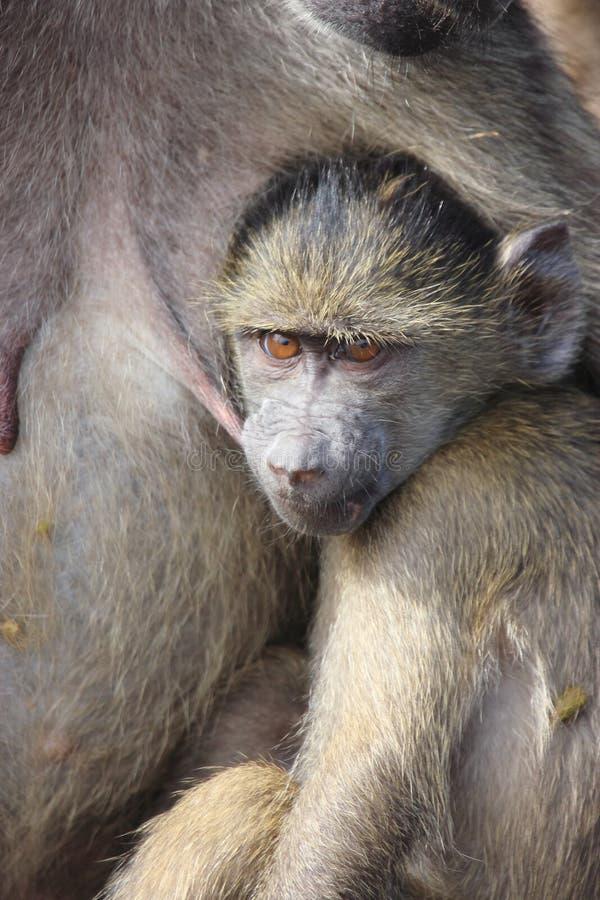 Babuíno África do Sul imagens de stock
