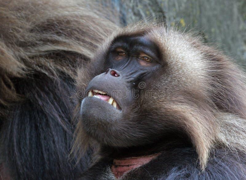 Download Babuíno imagem de stock. Imagem de animal, áfrica, pele - 526573