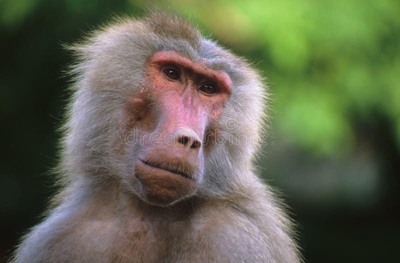 Download Babuíno imagem de stock. Imagem de primatas, olho, cinzento - 532473