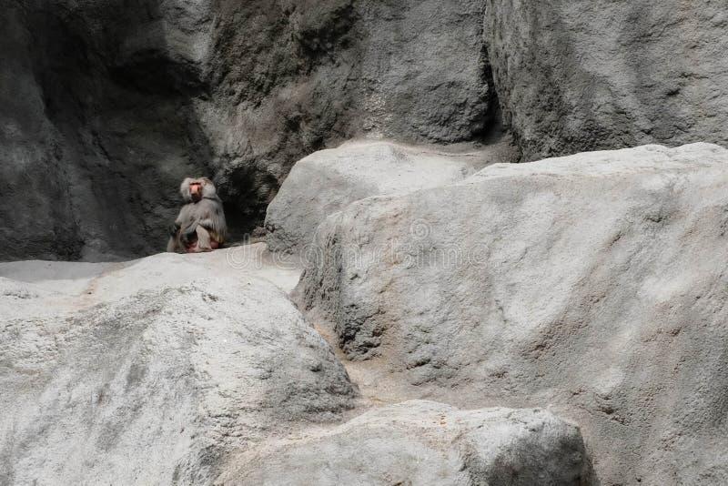 Babuíno adulto que senta-se na rocha imagem de stock