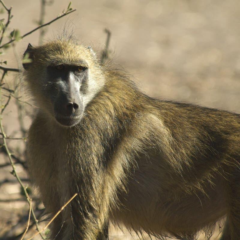 Babuíno africano imagens de stock