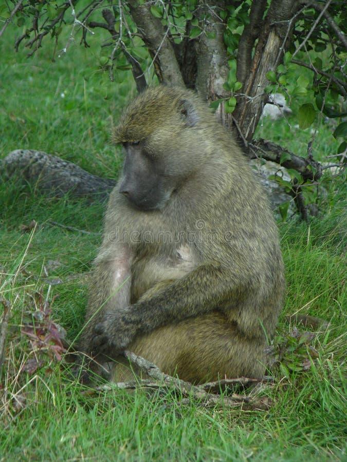 Babuíno de África que come algumas porcas imagens de stock